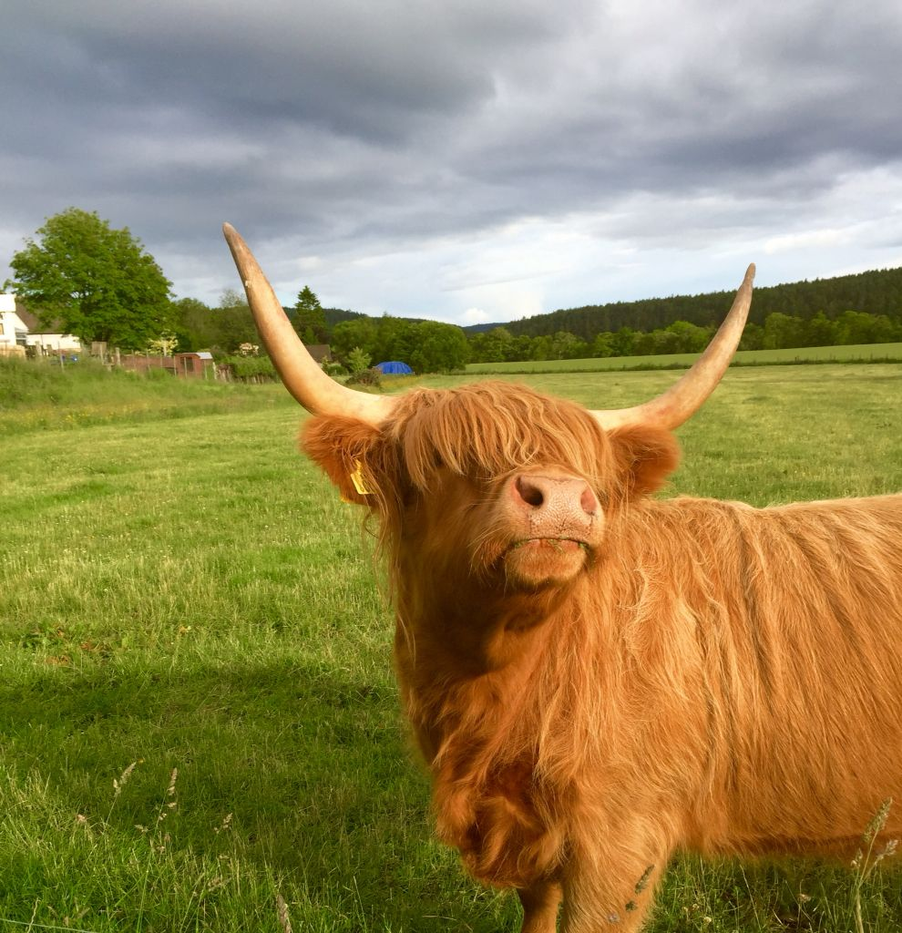 Highland cattle - Kincardine O\'Neil Aberdeenshire | \'Poetry...Whisky ...