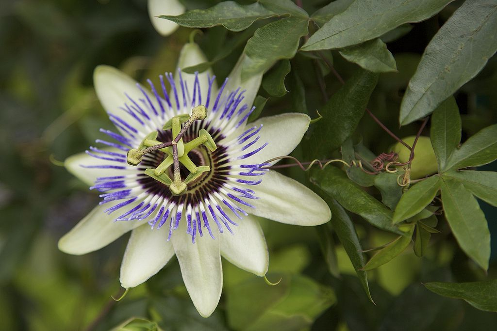 Passiflora Passiflora Caerulea Blue Passion Flower Passiflora