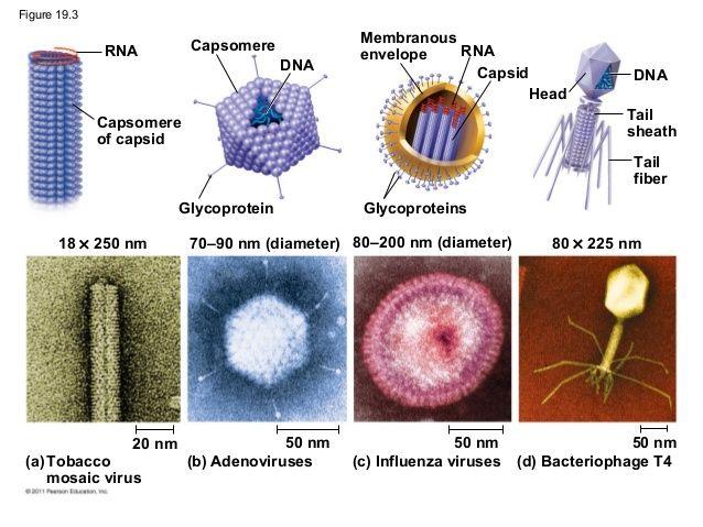 19 - Viruses