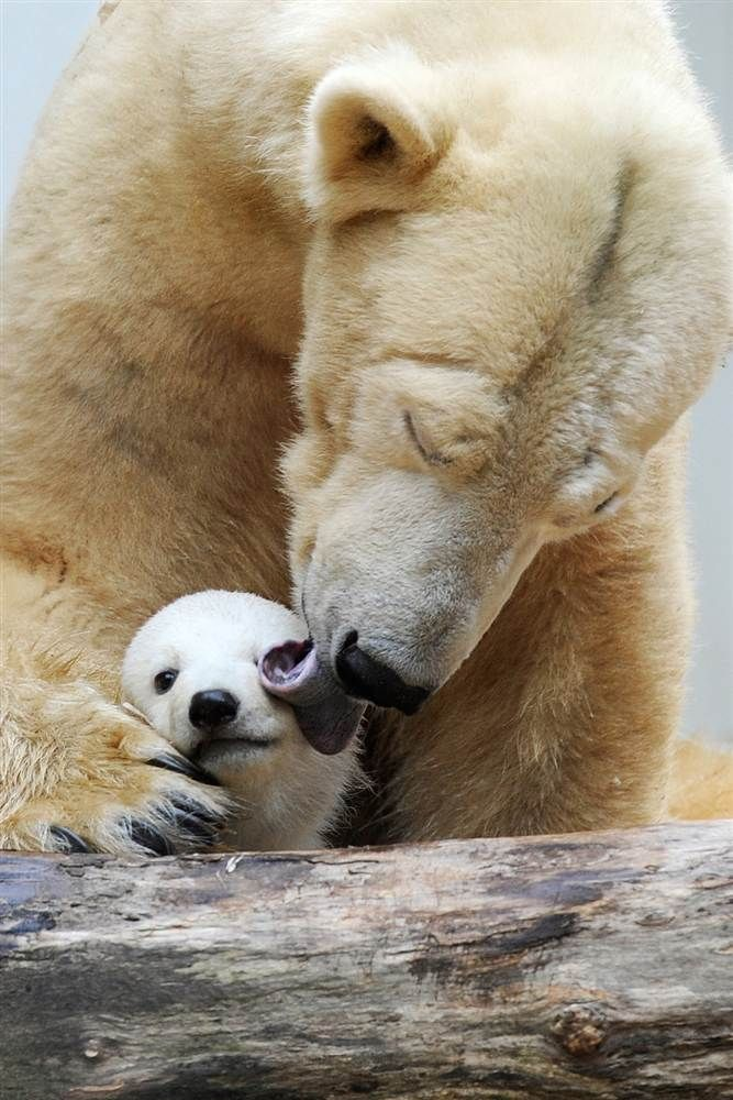 Polar bear mother, Vilma, cuddles with her cub, Anori. (Marius Becker / AFP - Getty Images)