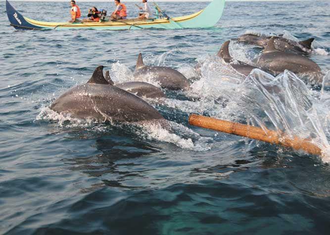 Yuk Lihat Lumba Lumba Di Pantai Teluk Kiluan Tempat Wisata