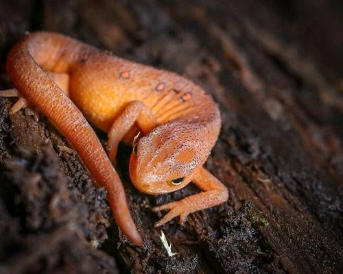 The Spectacular World Of Salamanders Newt Animal Animals Reptiles Pet