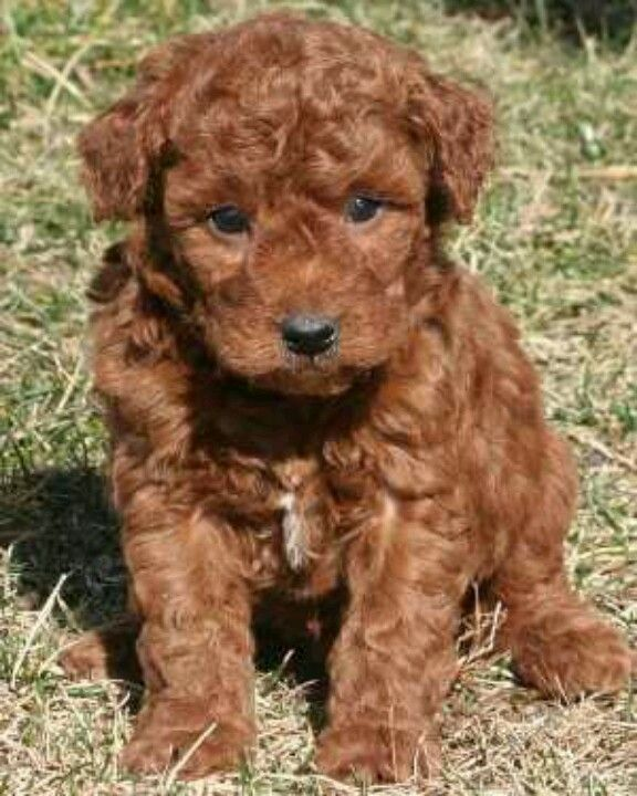 Cutest Ever Mini Golden Doodle This Is The Cutest Color F1b