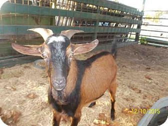 12/21 No longer listed :( Hoping a rescue took this billy in... 12/20 A008122 is a Goat for adoption in Tavares, FL who needs a loving home.