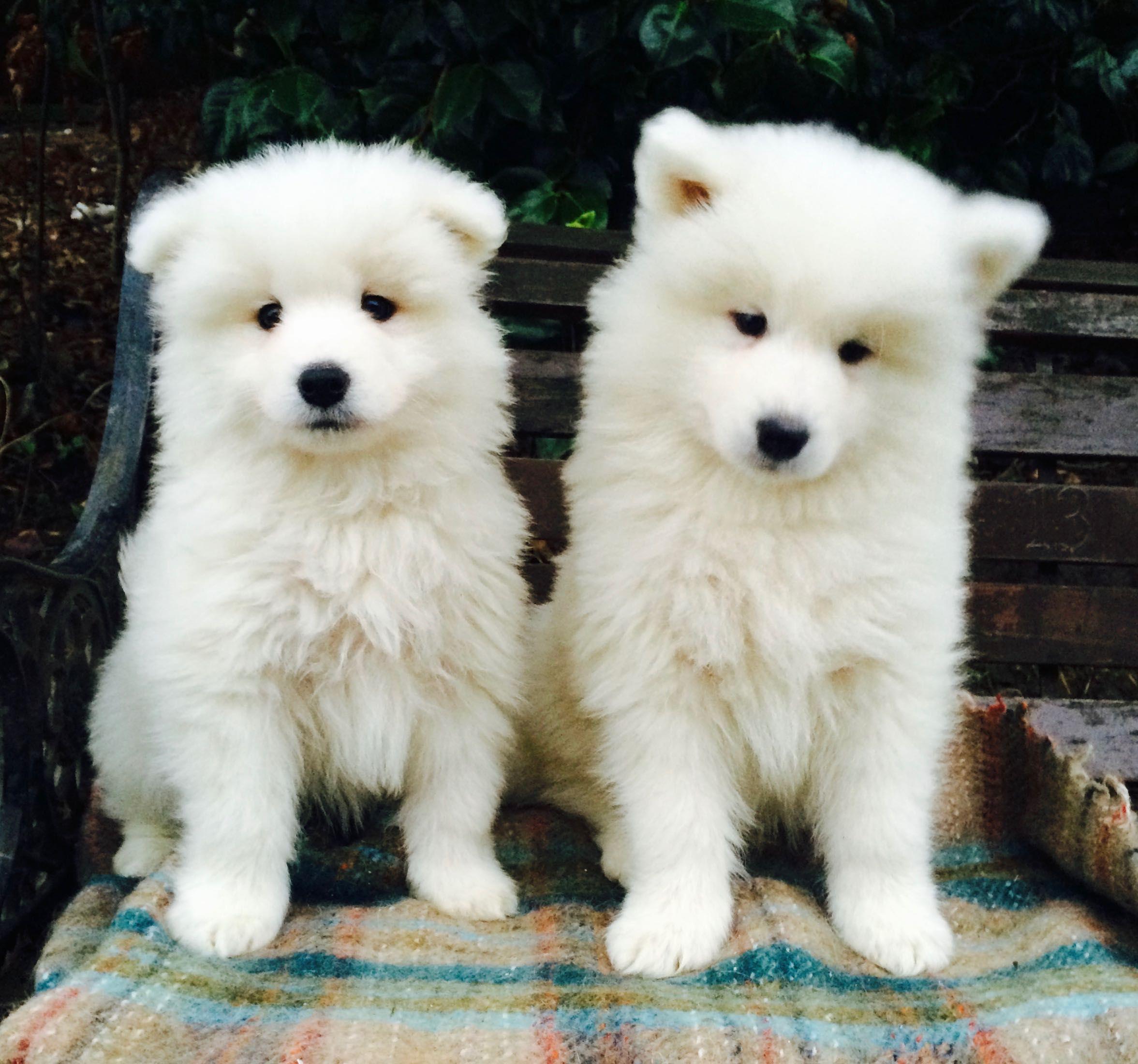 Pedigree Samoyed Puppies for sale in Lancashire Douglas