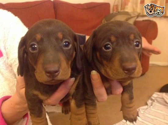 Miniature Smooth Haired Dachshund Puppies Slough Berkshire Pets4homes Dachshund Puppies Dachshund Puppy Funny Funny Dachshund