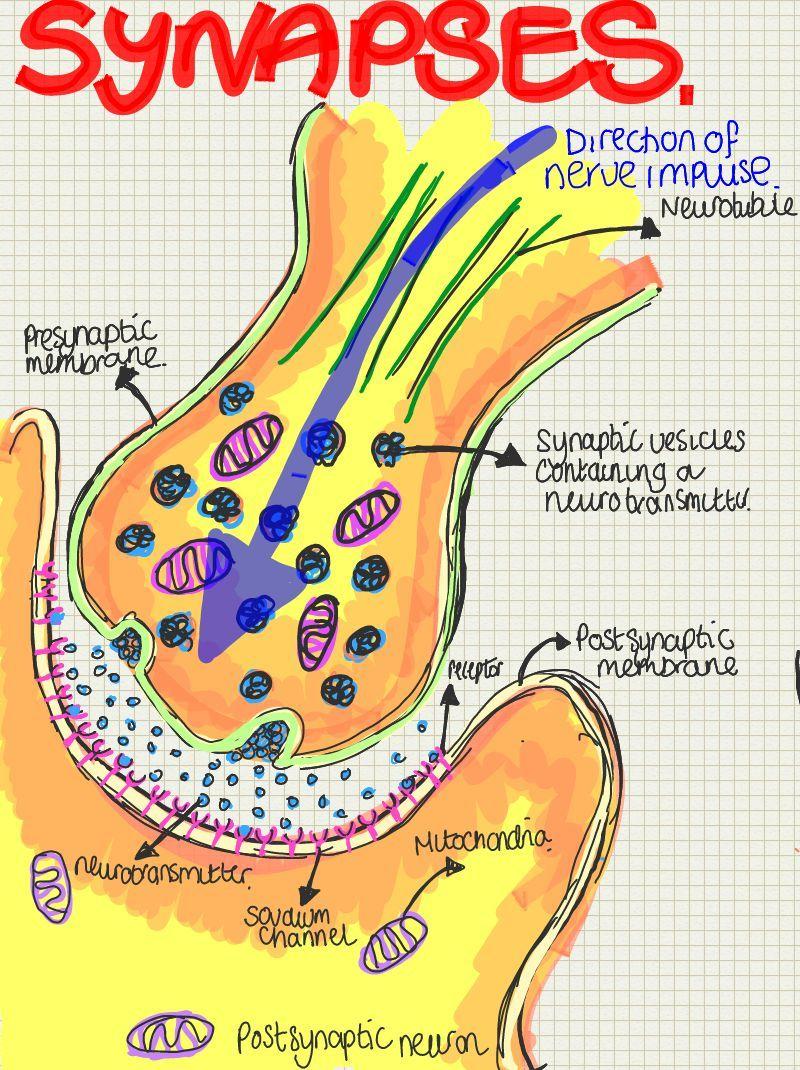 Synapses | Veterinary | Pinterest | Medicina, Anatomía y Biología ...