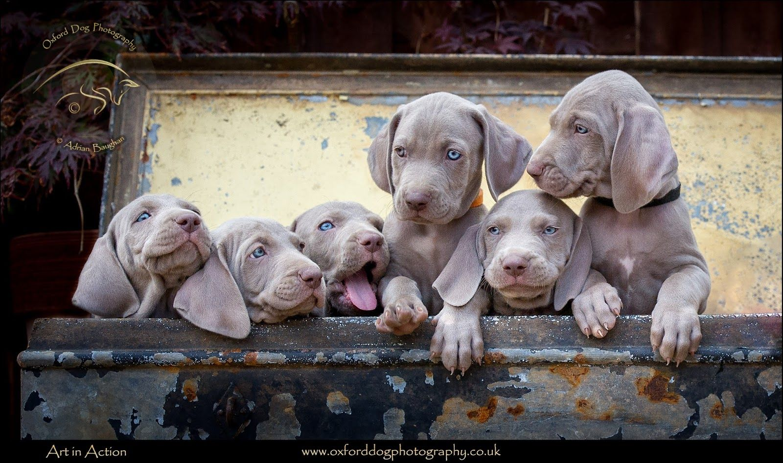 Weimaraner litter Puppy photography by Adrian Baughan