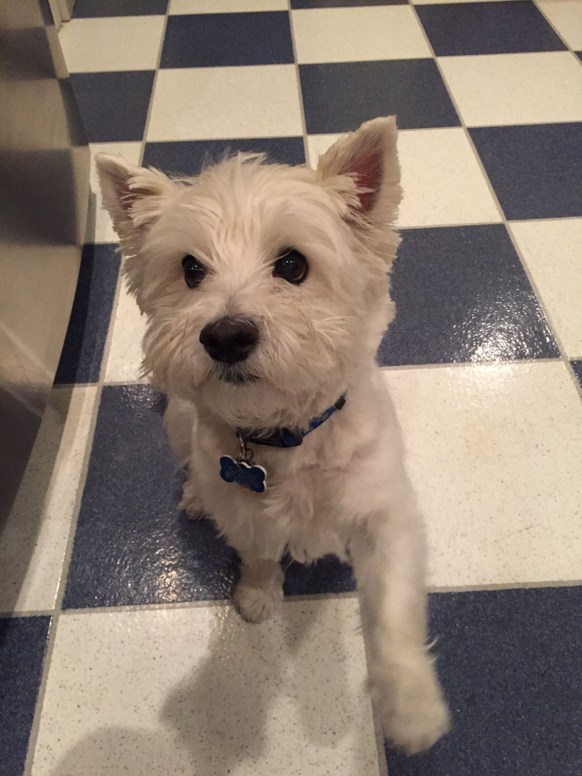 winston the westie after his haircut! | westies | pinterest