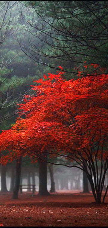 Red Tree Autumncolors In The Morning Yein Photo Artlimited Net Traeer Natur Og Fantastiske
