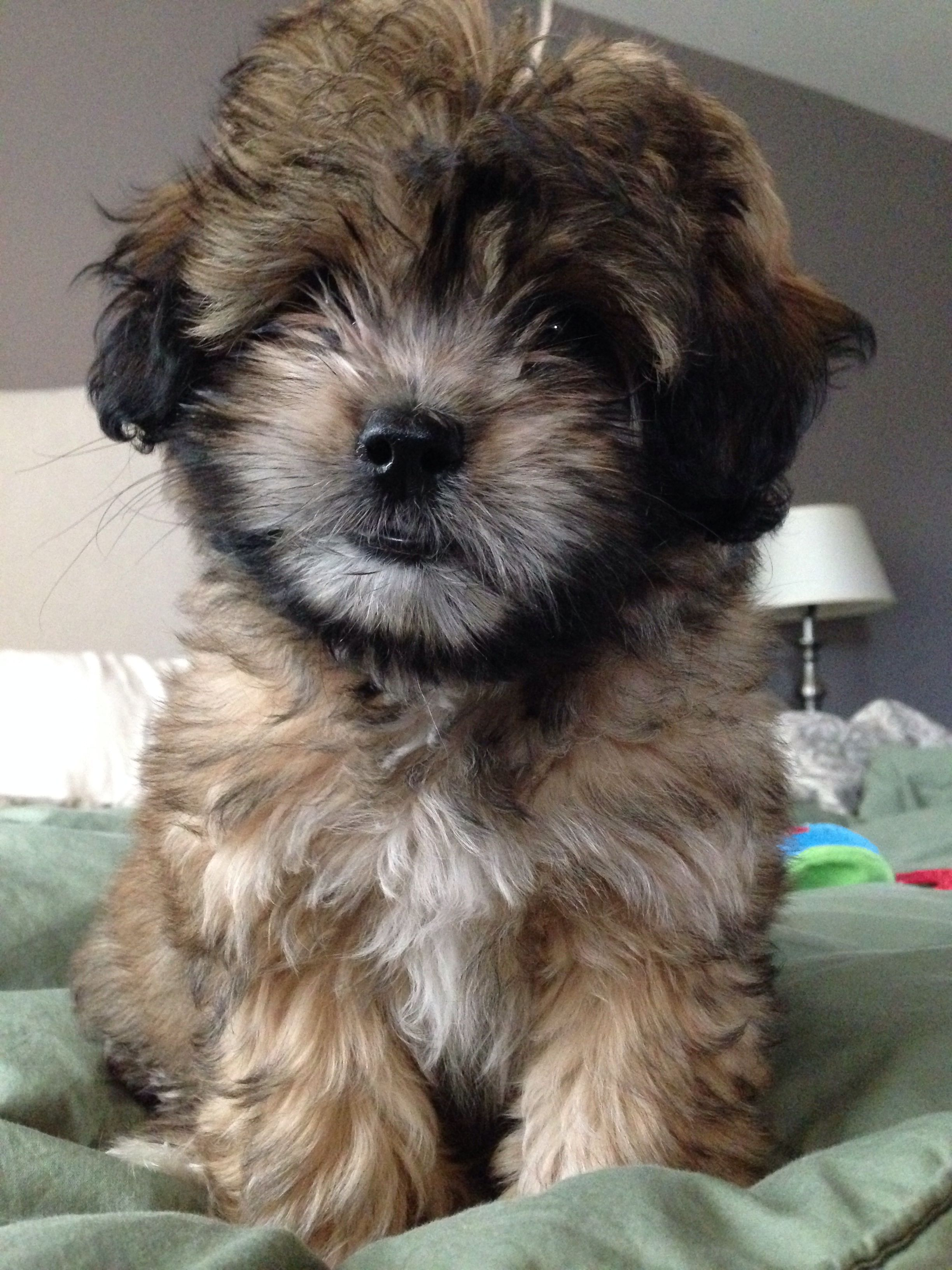 Poodle Mix Puppies For Sale Nc References
