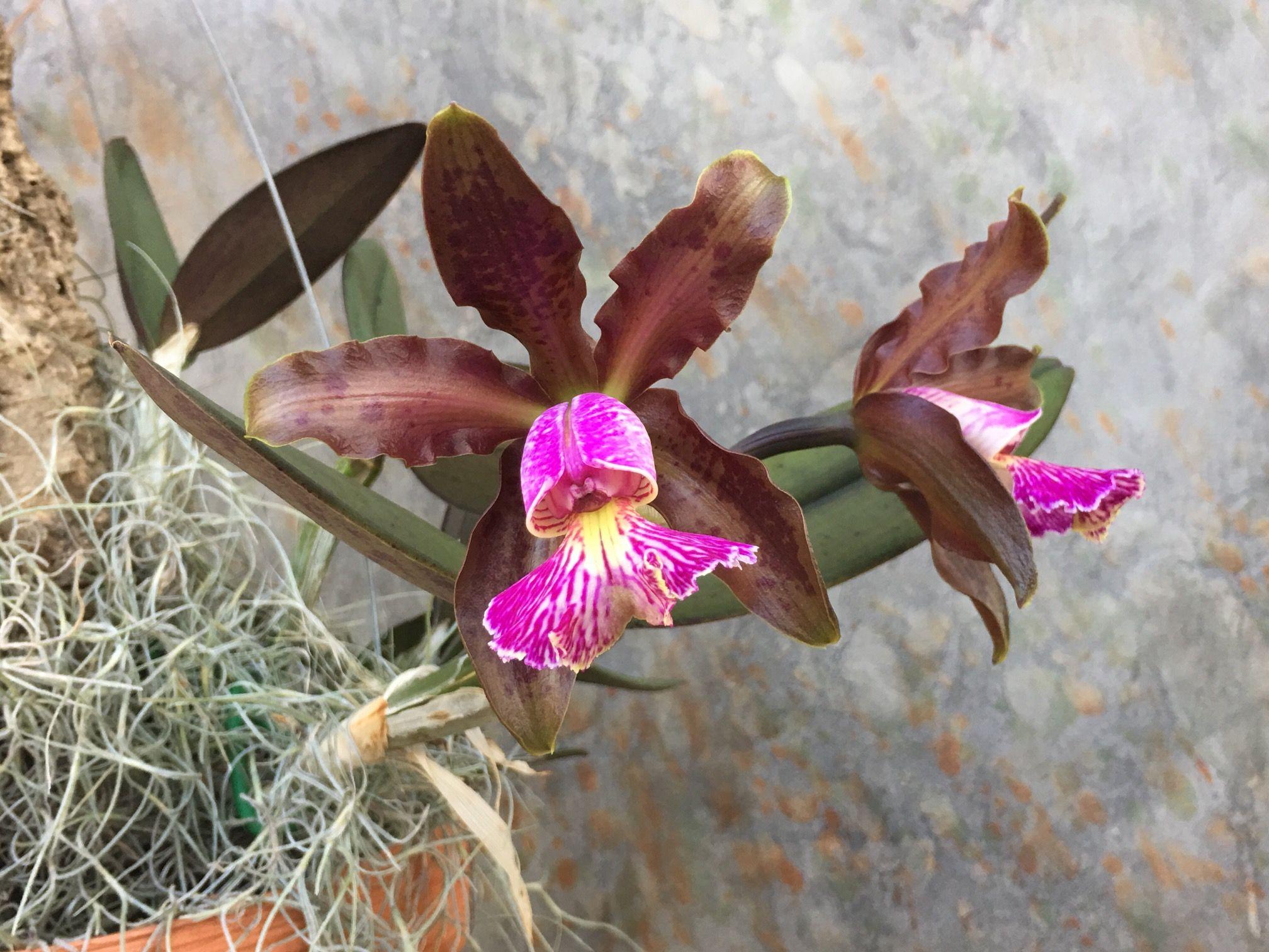 Pin by jesus juarez on flores hermosas pinterest orchid cacti