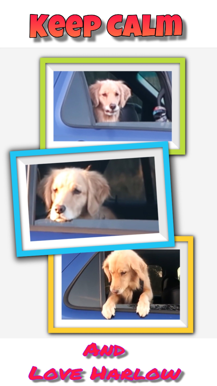 #harlow #servicedog #goldenretriever #cute #keepitsimple #dog @minor_photography @jean-and-okki @minor_photography @loodoh @yoitsktt @xoxo_kayla_xoxo @bojanacvetkova
