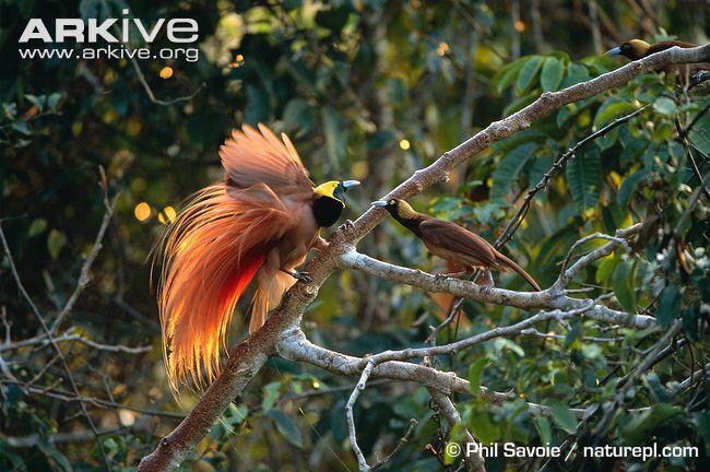 Raggiana bird of paradise videos, photos and facts