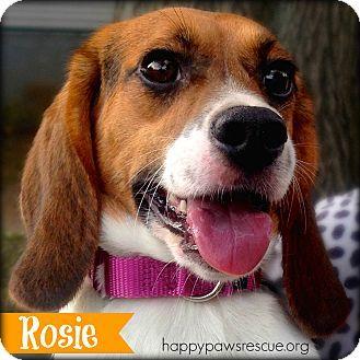 South Plainfield Nj Beagle Meet Rosie A Dog For Adoption