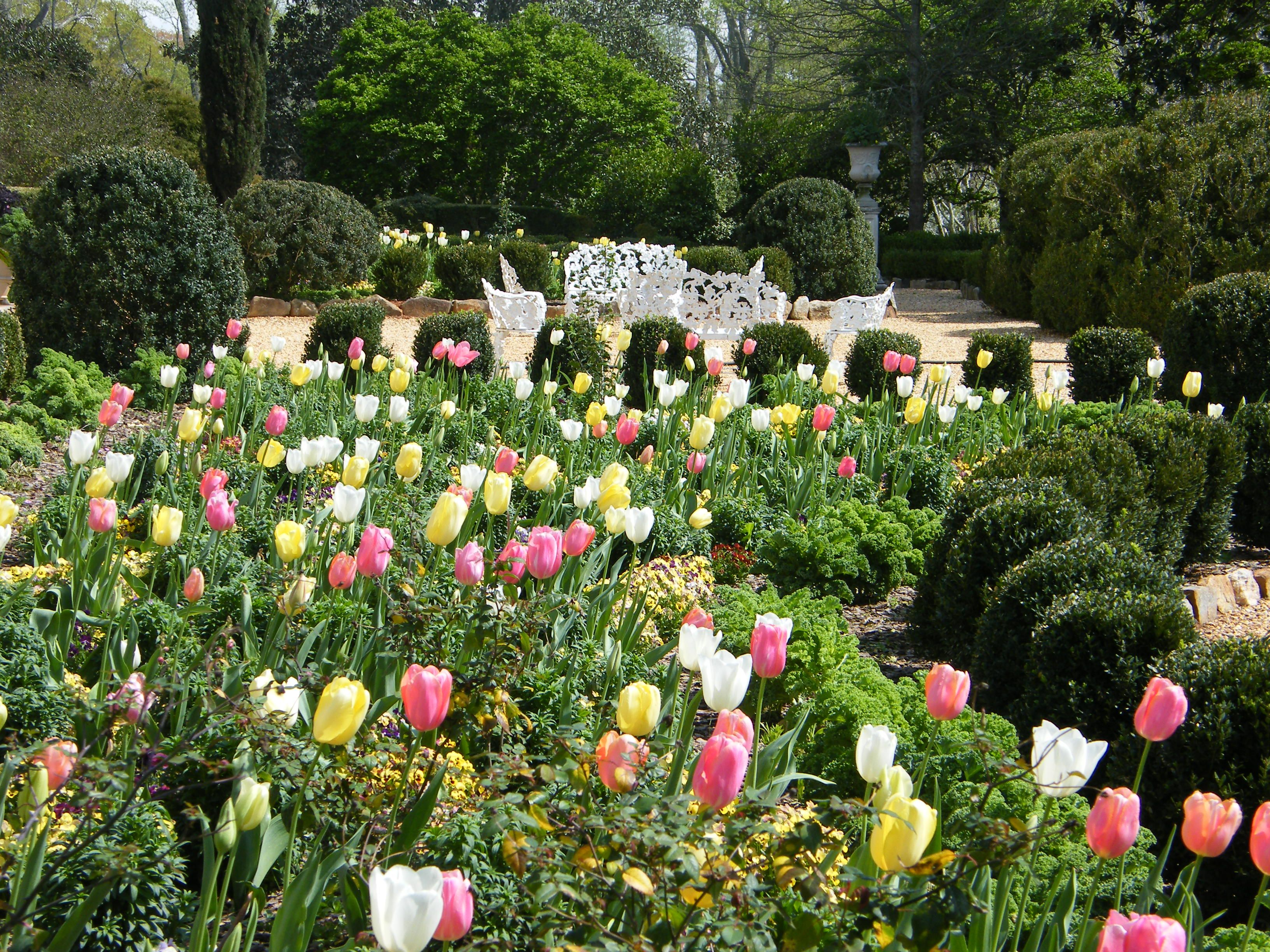 Tulips At Hills Dales Estate In Lagrange Ga