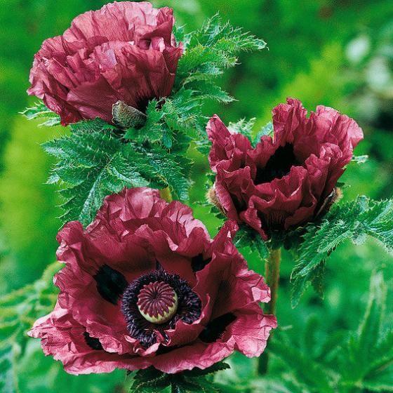 Gartenmohn Patty S Plum Exotische Blumen Pflanzen Garten