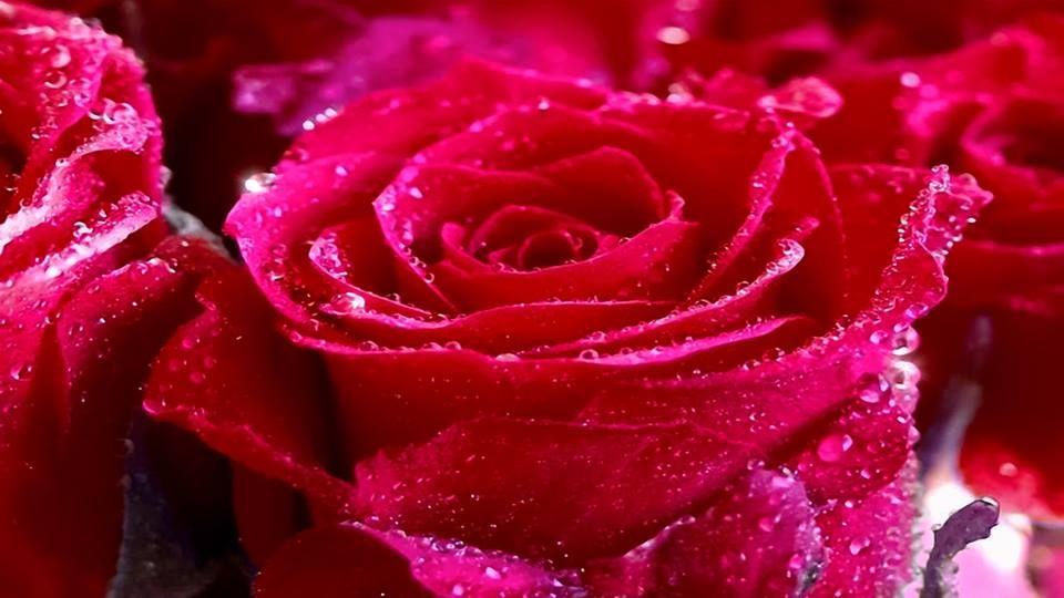 Обои красные розы на рабочий стол