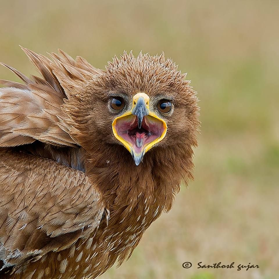 Indian spotted eagle bangalore karnataka by santhosh gujar bangalore karnataka by santhosh gujar photography biocorpaavc Image collections