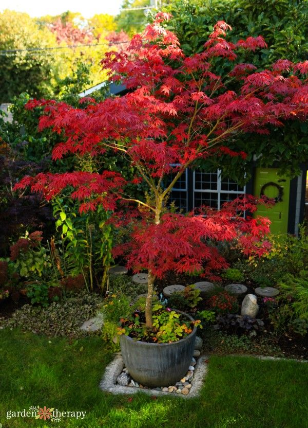 How to Grow Trees in Containers (and the Best Ones to Choose #japanesemaple