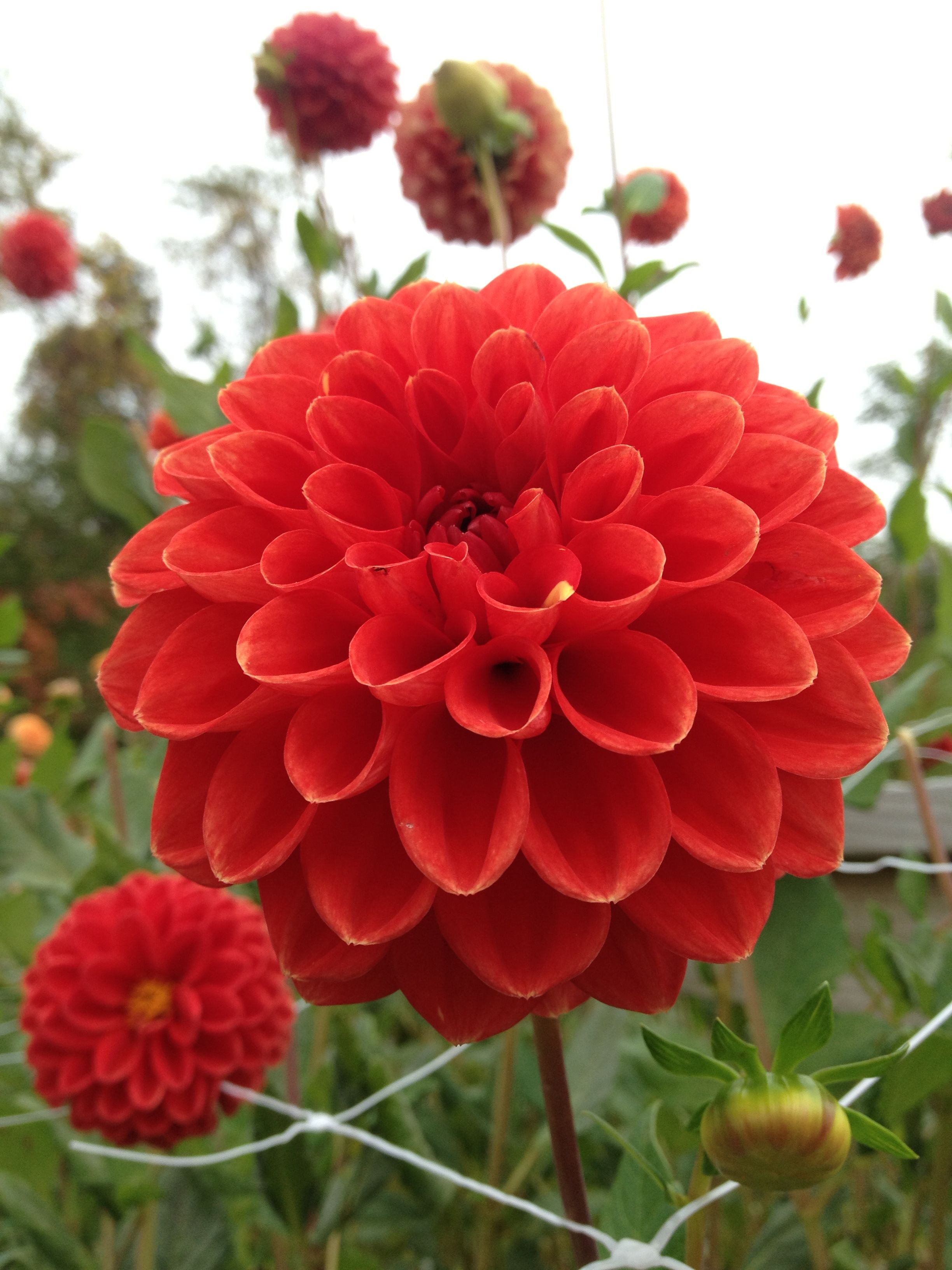 Dahlia Ruskin Gypsy Dahlia Pinterest Dahlia Flowers And Gardens