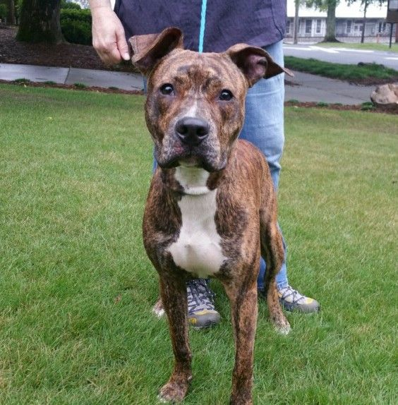 Bulloxer dog for Adoption in Decatur, GA. ADN623978 on