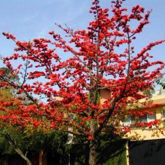 10 Bombax ceiba Seeds, Red Cotton Tree, Silk Cotton Tree