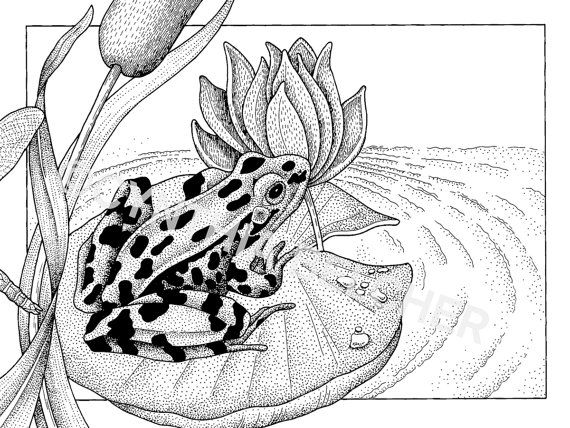 pen and ink drawing of a leopard frog on lily pad by artclays 1500