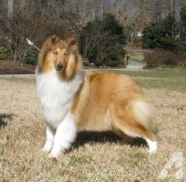Rough Collie For Sale In Sophia North Carolina Classified