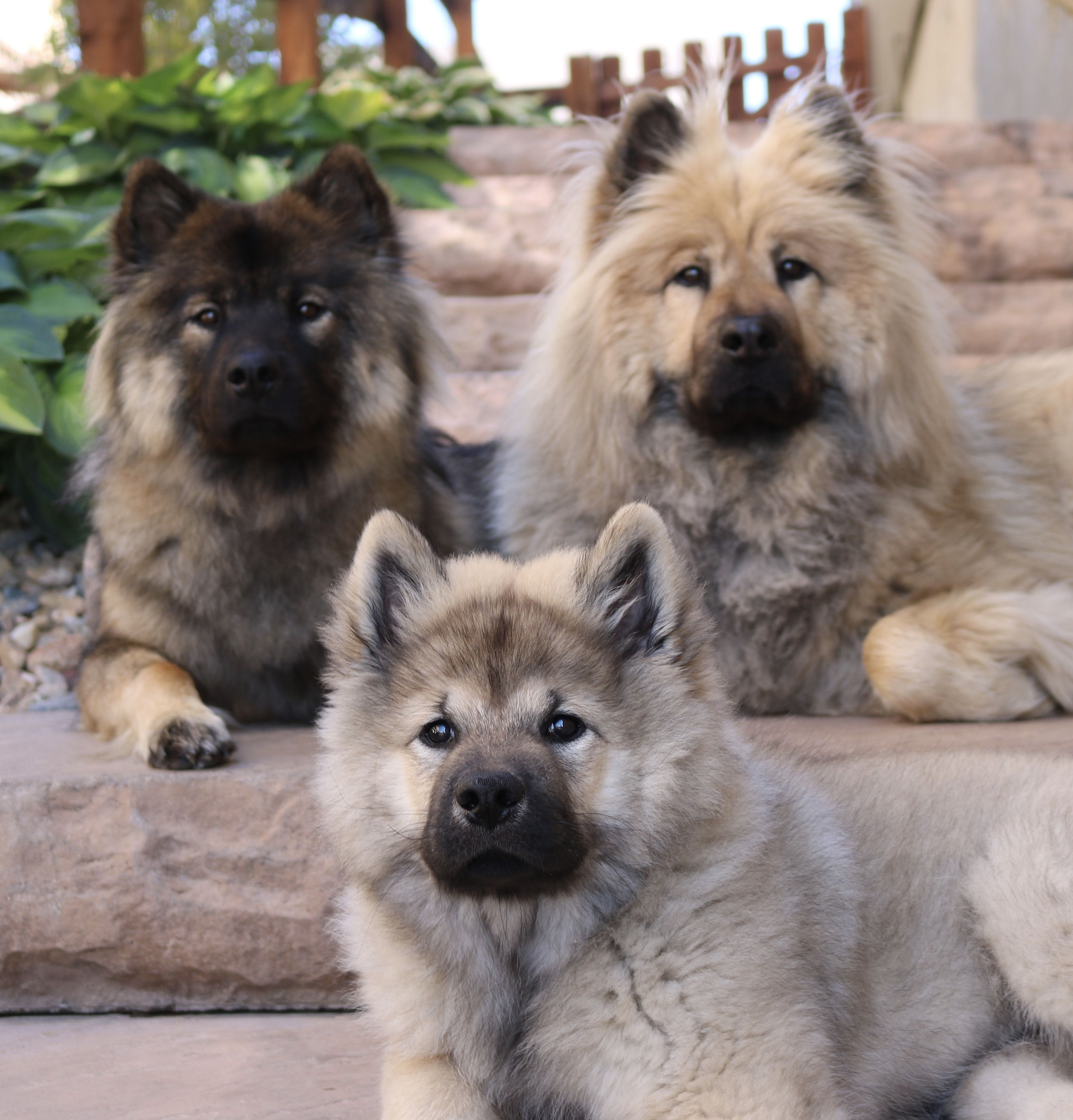 Pin By Jimmydog Pet Portraits On Eurasier Dogs Cuddly Animals Cute Dogs Beautiful Dogs