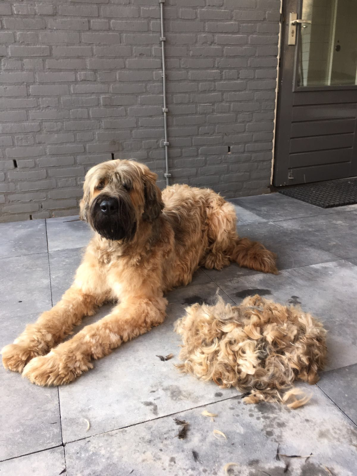 Pin By Megan Young Murphy On Briard Briard Dog Briard Dogs