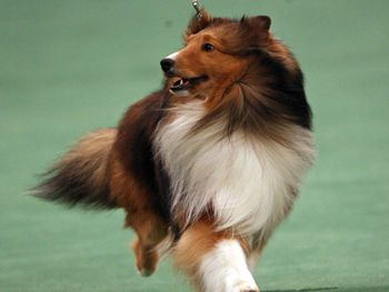 Featured Dogs Of The Westminster Kennel Club Dog Show