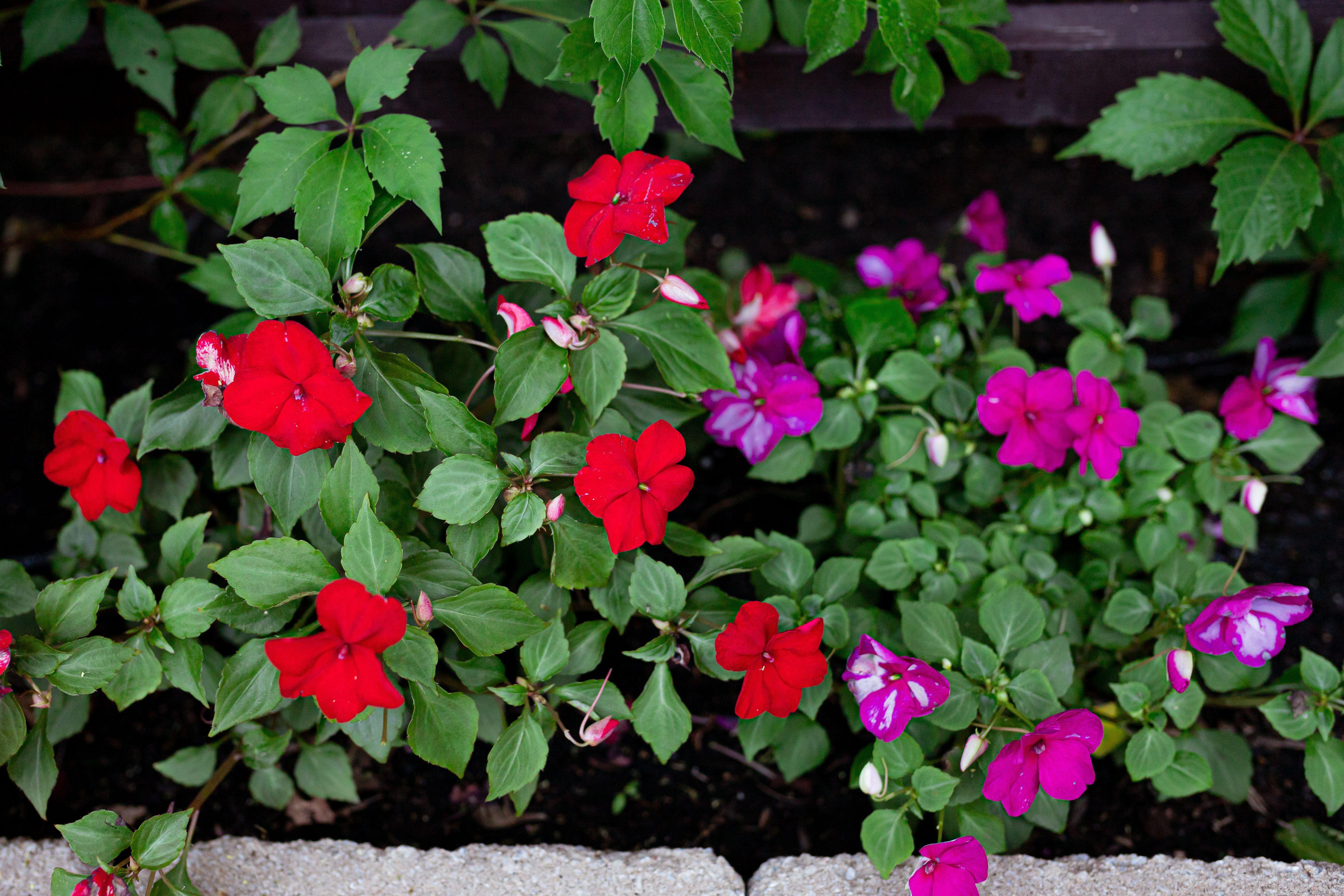 Growing Impatiens Flowers In 2020 Impatiens Flowers Annual Flowers Flowers