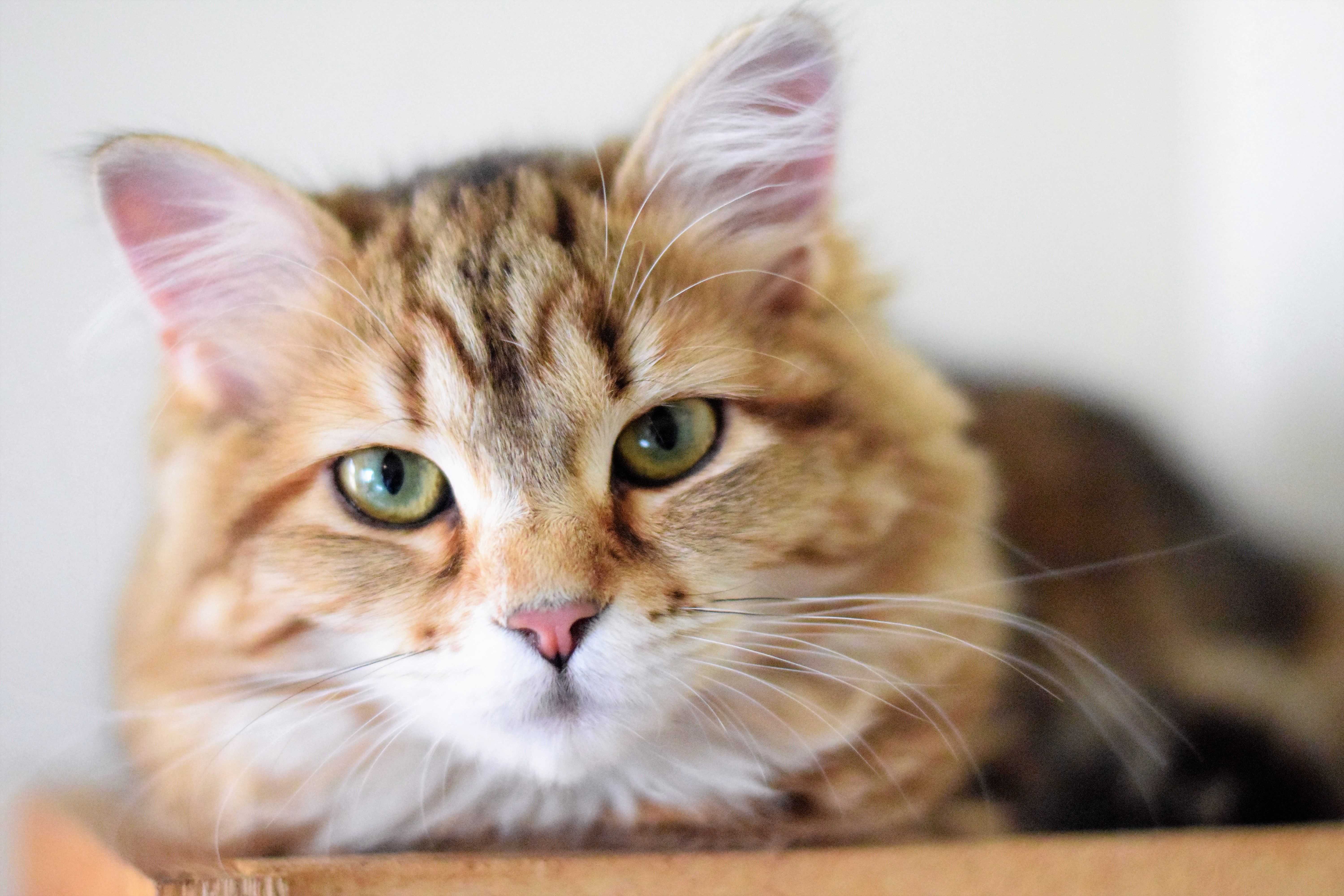 Breeder of hypoallergenic Russian Siberian Forest Cats