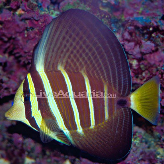 Sailfin Tang Marine Fish Aquarium Fish Tang Fish