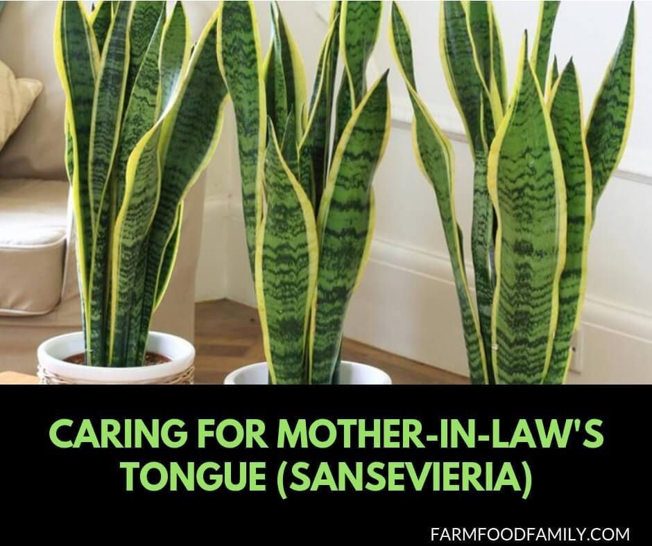 Snake Plant Caring For Mother In Law S Tongue Sansevieria Mother In Law Tongue Plants Mother In Law Plant