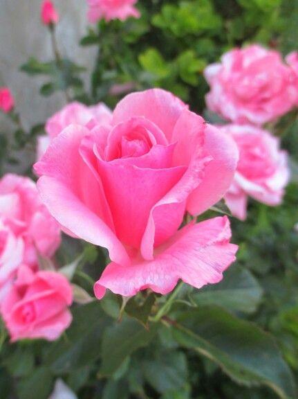 Rosas preciosas frases flores la orotava y rosas - Fotos flores preciosas ...