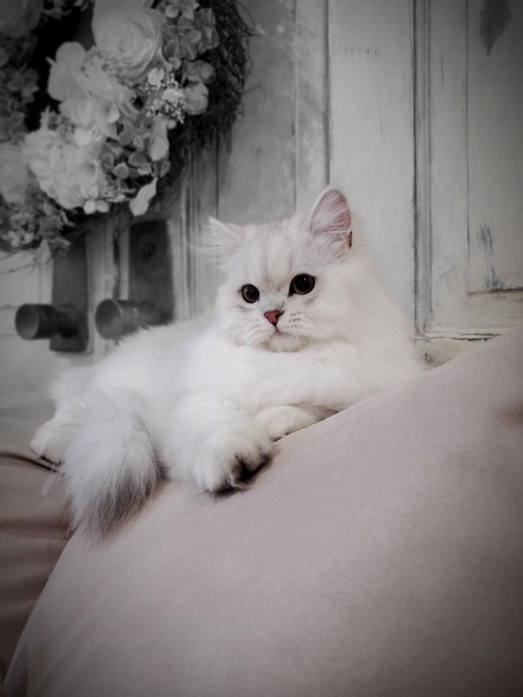 Pin By Doll Face Persian Kittens Ww On Chinchilla Silver Persian Kittens Persian Cat Persian Cat Doll Face Cats