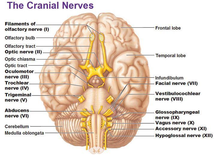 The Cranial Nerves picture | Brain | Pinterest | Cranial nerves