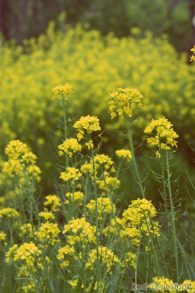 Galaxy S5 Fall Wallpaper Pennsylvania Countryside Field Of Yellow Wild Mustard