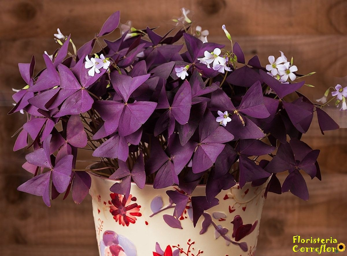 Oxalis Triangularis. Planta mariposa. Floristería Correflor. 91 695 62 71