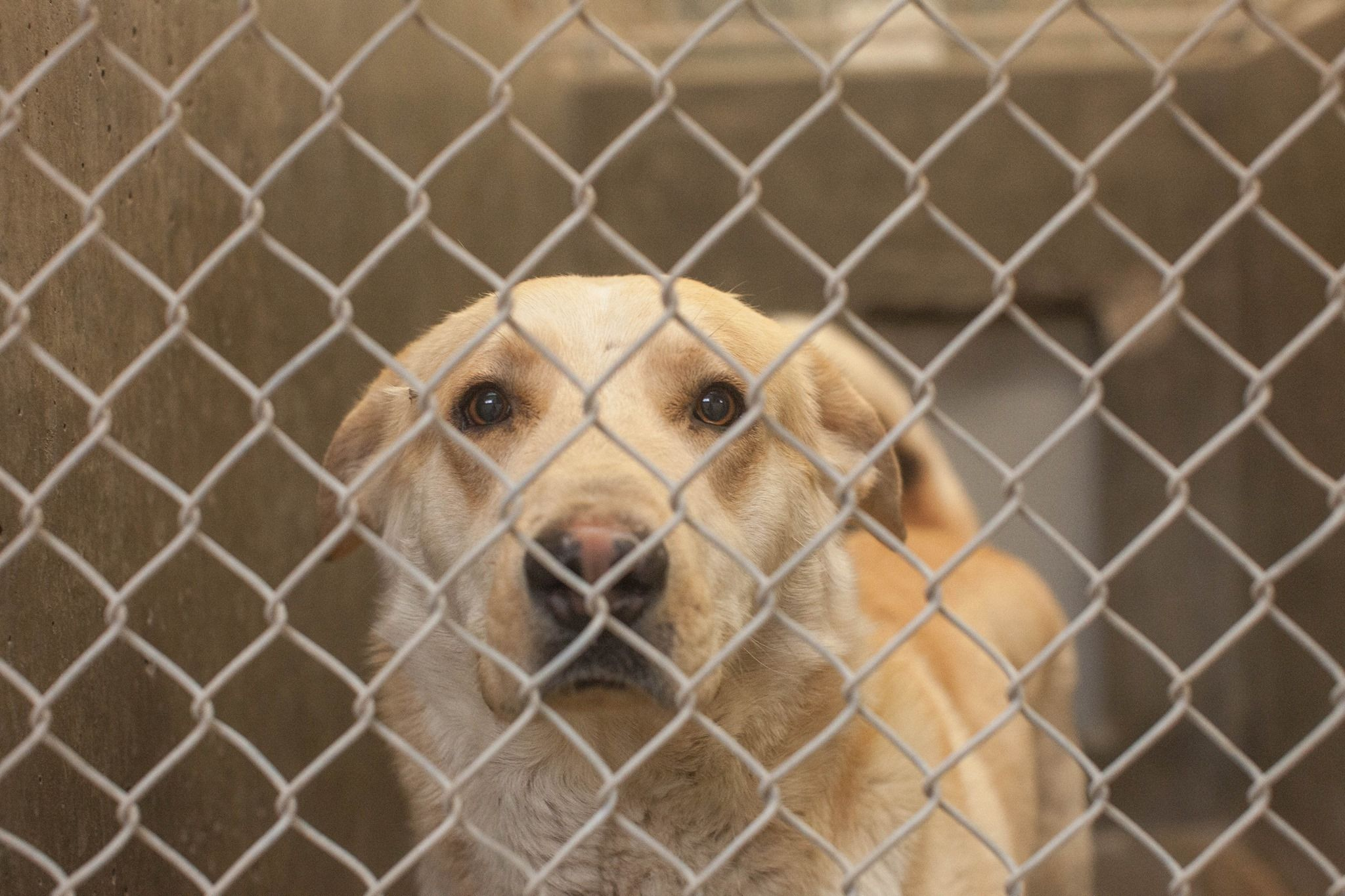Lovables: ****URGENT OUT OF TIME****Please adopt!!  Lab mix male 1-2 years old Kennel A1 *****$51 to Adopt.  This guy is begging to get out.  Located at Odessa, Texas Animal Control FOSTERS NEEDED! OUT OF STATE TRANSPORT CAN BE ARRANGED FOR ADOPTERS! https://www.facebook.com/speakingupforthosewhocant/photos/a.248402621850650.69312.248355401855372/739699926054248/?type=1&theater