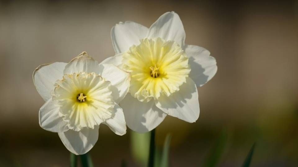 The Spring S Trumpet Daffodil Magical Properties And Uses Magical Herbs Narcissus Plant Daffodils Narcissus