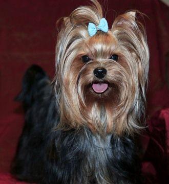 Yorkshire Terrier Puppy For Sale In Battle Ground Wa Adn 58079 On