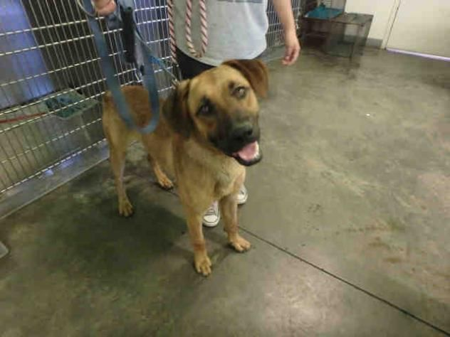 A1646630 Urgent City Of Los Angeles South La Animal Shelter In Los Angeles Ca Adopt Or Foster Young Male German Shep Dog Search Animals Puppy Adoption