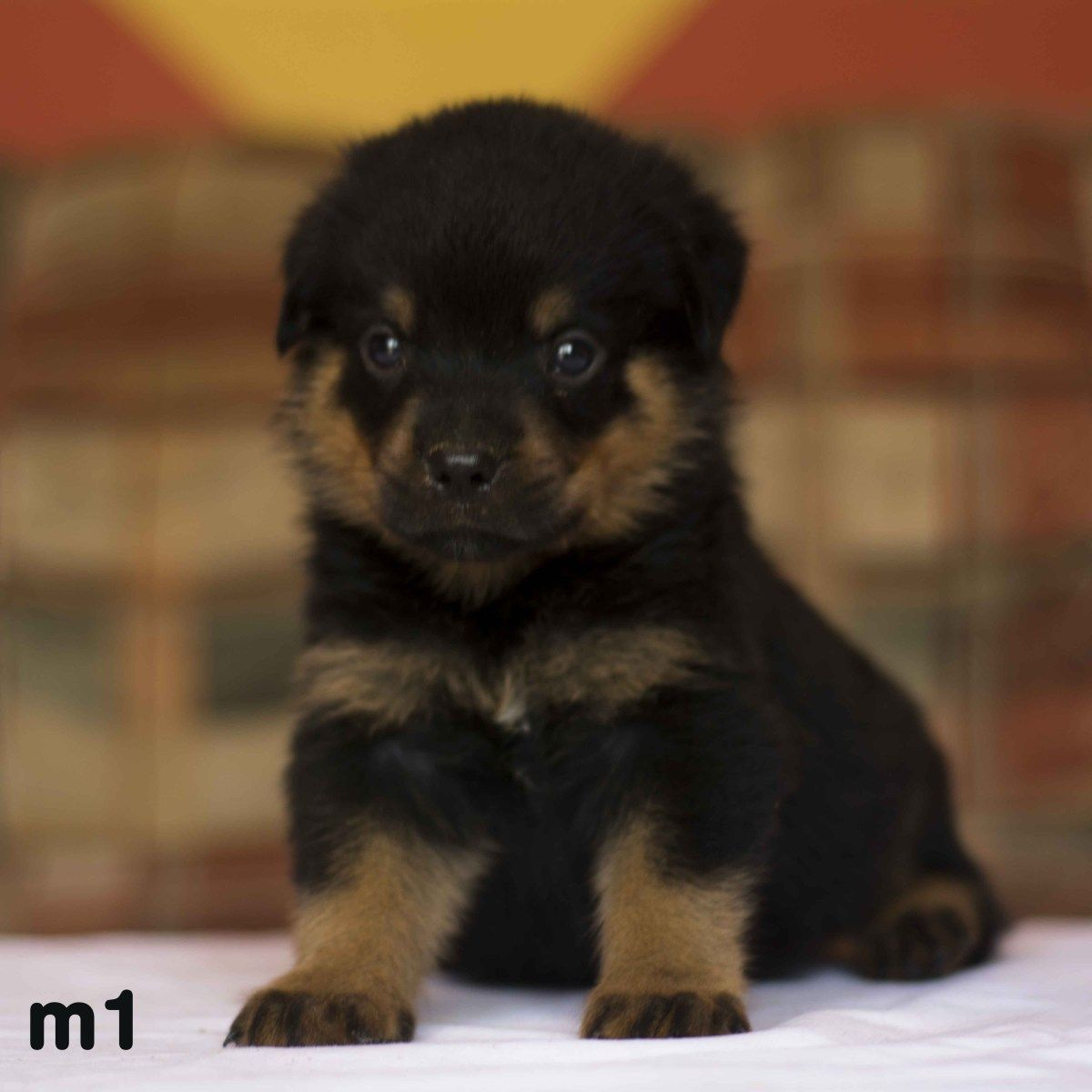 Quality Rottweiler Puppies For Sale German Rottweilers On