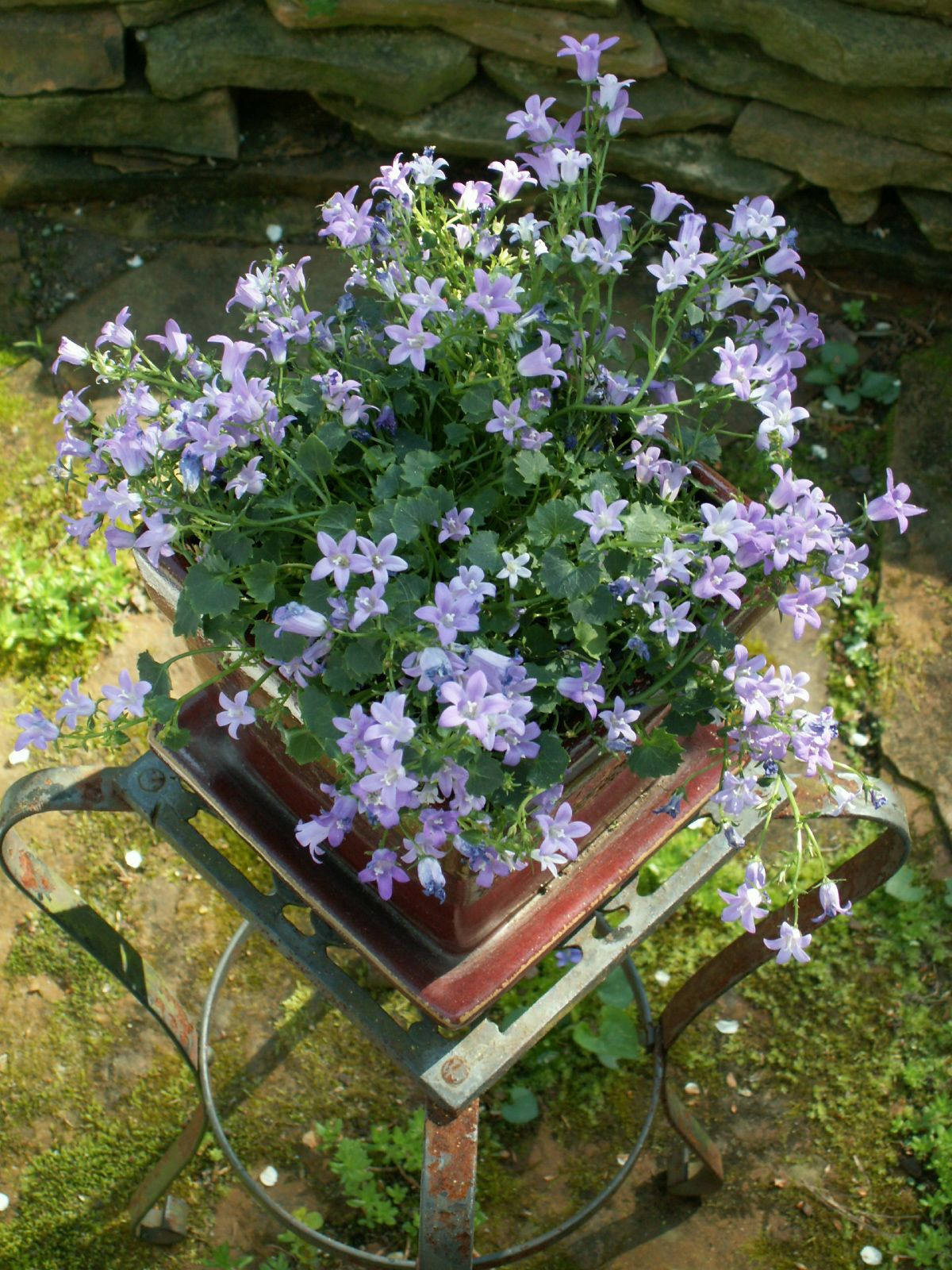 Campanula Bellflower The Creeping Crawling Kind Photo By S Wall These Lovely Bellshaped Flowers Are Sold Regularly At My Tr Bellflower Campanula Plants