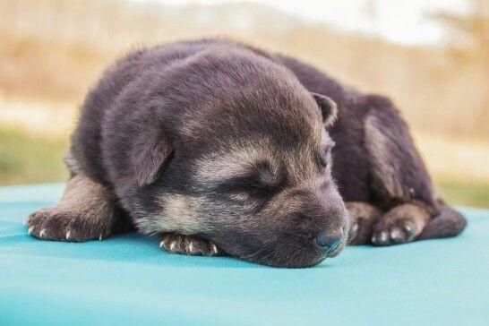 German Shepherd Puppy  For Sale www.christiansguardianshepherds.com