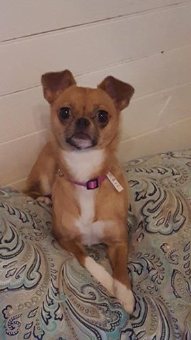 Cheeks Dog For Adoption In Asheville Nc Adn 661138 On