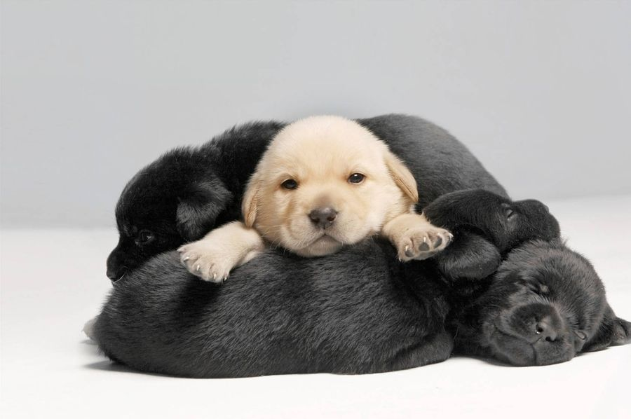 Pile Of Puppies Puppies Lab Puppies Dogs